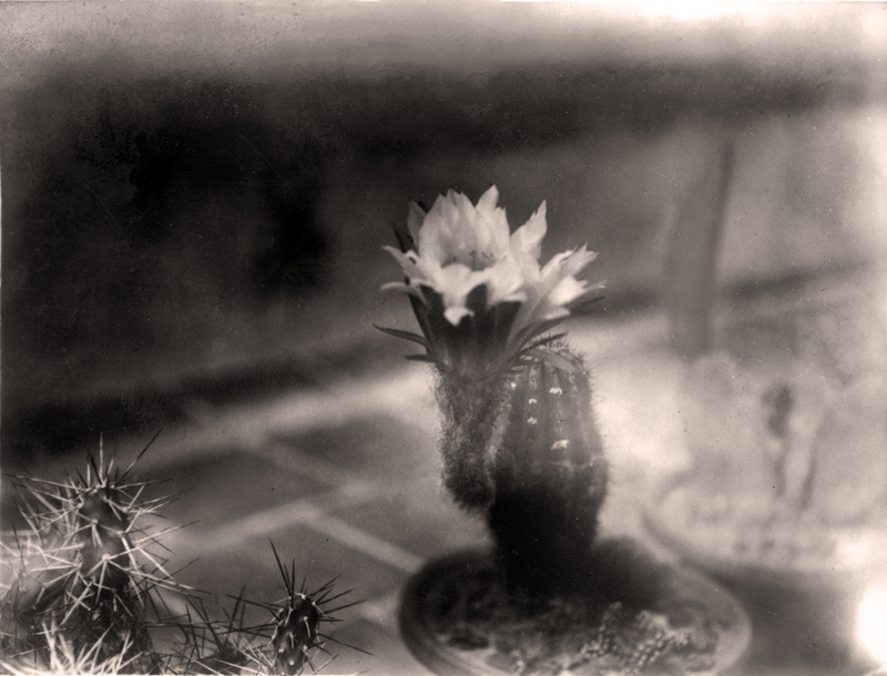 cactus 02 - sepia - baja version 2